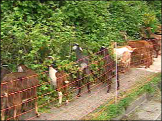 Indian Goats on the Move
