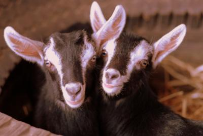 South African Alpine Goats
