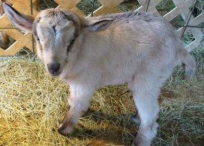 Looking For Goats For Sale South Carolina This Is The
