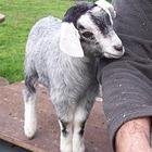 Miniature Bred Wethers